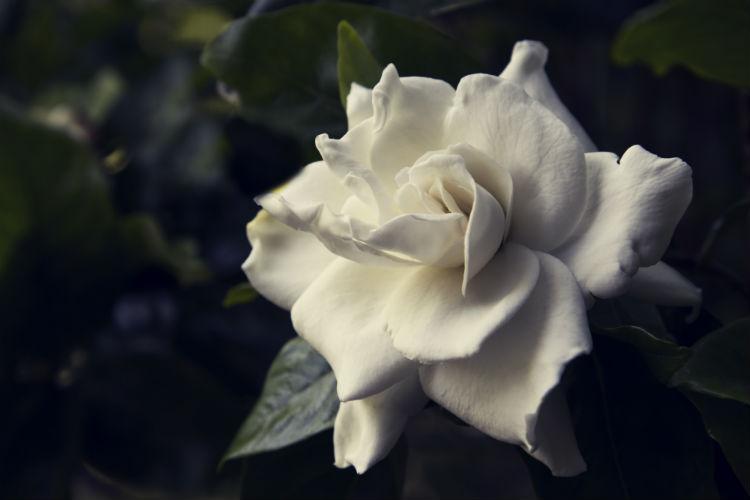 single white gardenia