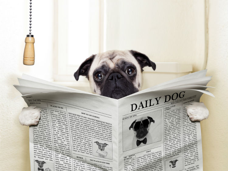 A pug sitting on the toilet reading a newspaper