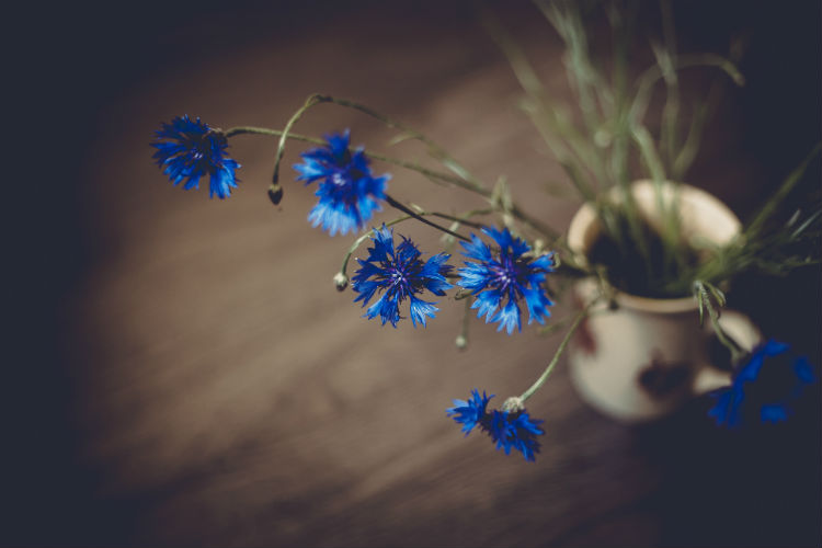 Wilted blue cornflowers in a vase