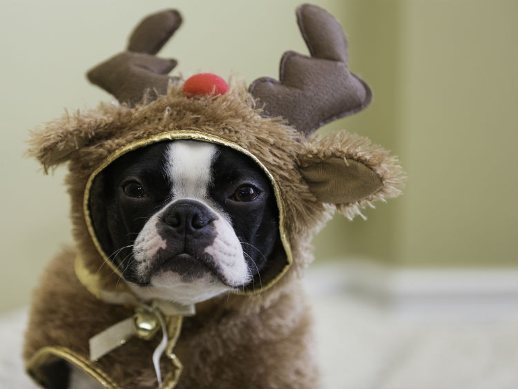 Dog in reindeer costume