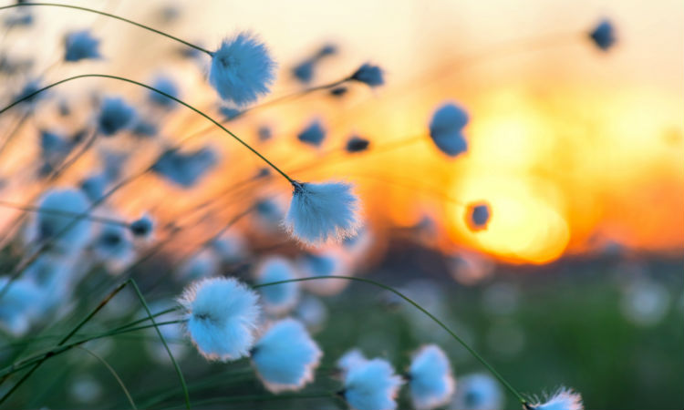 Cotton grass on background of the sunsetting