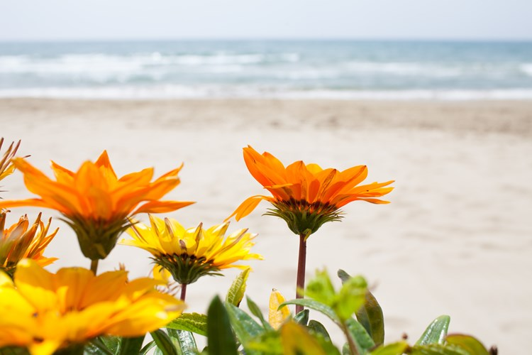 A close up on gazanias growing near a beach setting