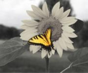 yellowfeever